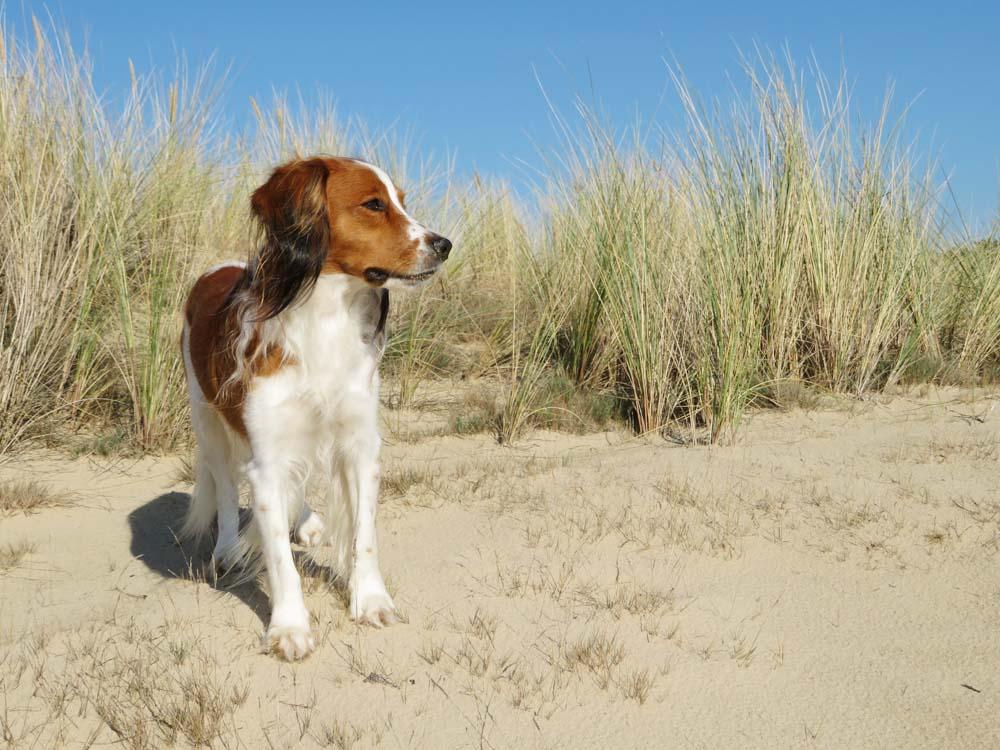 Hond wandelen Hulshorsterzand video