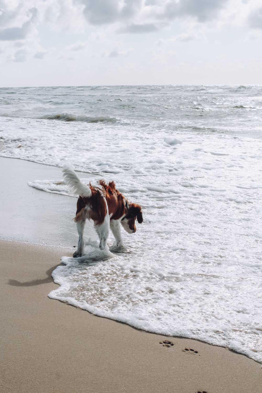 Nederlands strand hond altijd los lopen - Woef Welkom