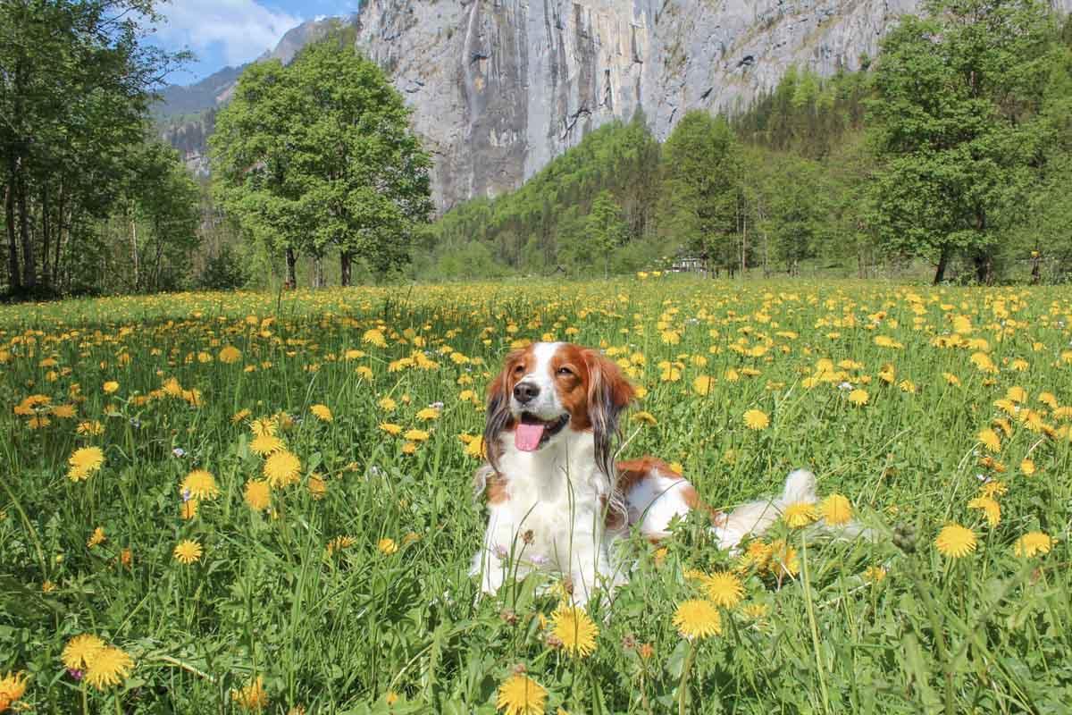 Lauterbrunnen, vakantie met hond Zwitserland, regels per land voor reizen met de hond per auto - Woef Welkom
