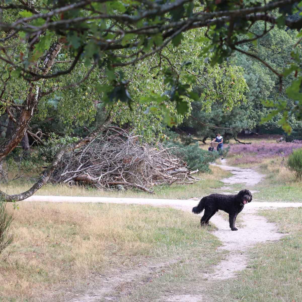 Met de hond naar de Hoorneboegse Heide [hondenlosloopgebied]