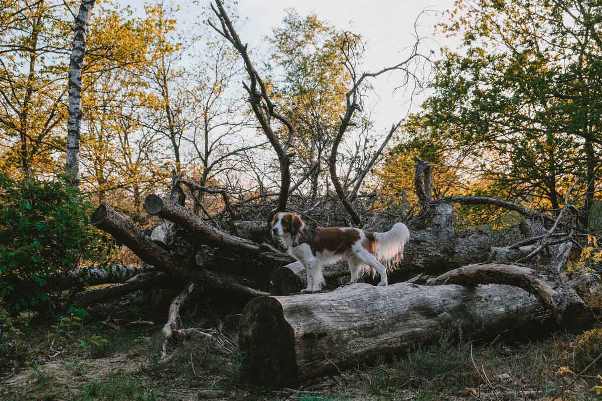 Met de hond naar de Sallandse Heuvelrug [hondenbos Hellendoornse Berg]