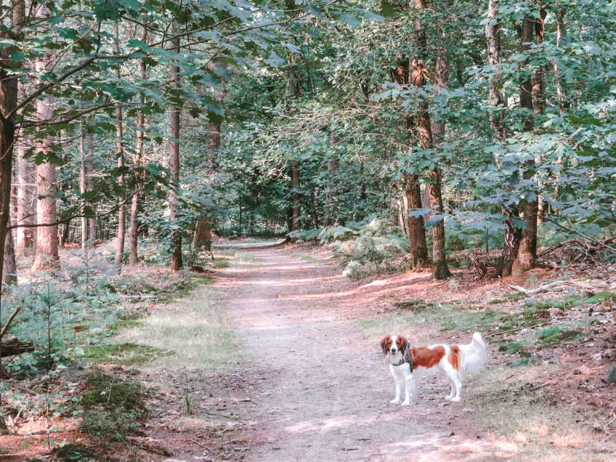Alles over het hondenlosloopgebied in het Speulderbos op de Veluwe